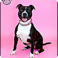 Pit Bull Terrier Mix Dog for adoption in Tempe, Arizona - Meggie