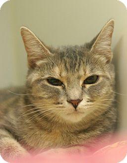 Domestic Shorthair Cat for adoption in Staunton, Virginia - Pahtottie