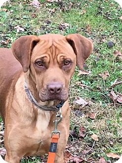 Boxer/Labrador Retriever Mix Dog for adoption in St. Catharines, Ontario - Popeye