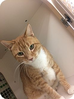 Domestic Shorthair Cat for adoption in Stafford, Virginia - Charlie