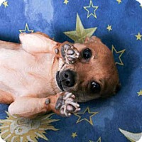 Chihuahua Dog for adoption in South Lake Tahoe, California - GINGER