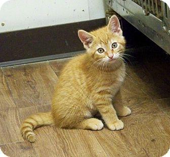 Domestic Shorthair Kitten for adoption in Dover, Ohio - Tot