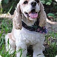 Adopt A Pet :: Sugar Cookie - Sugarland, TX