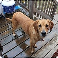 Adopt A Pet :: Ginger - Hamilton, ON