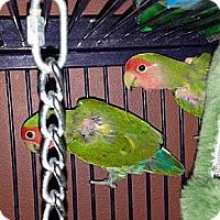 Adopt A Pet :: Kiwi - Lenexa, KS