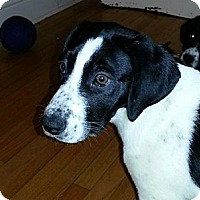 Adopt A Pet :: Josie - Chicago, IL
