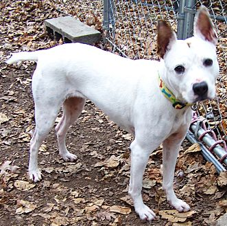 Jack Russell Terrier/Shiba Inu Mix Dog for adoption in Middletown, New York - Diamond