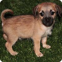 Adopt A Pet :: Bruce - La Habra Heights, CA