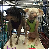 Adopt A Pet :: Eve - House Springs, MO