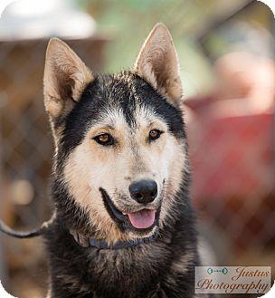 Siberian Husky/German Shepherd Dog Mix Dog for adoption in Cedar Crest, New Mexico - Alexander