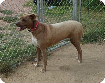 Labrador Retriever Mix Dog for adoption in Peyton, Colorado - Molly