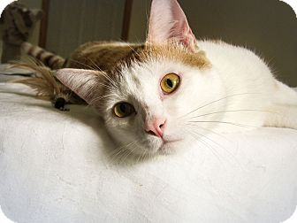 Domestic Shorthair Cat for adoption in Roseville, Minnesota - Elliot (at Woodbury Petsmart)