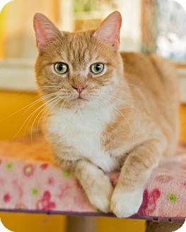 Munchkin Cat for adoption in West Des Moines, Iowa - Rosie