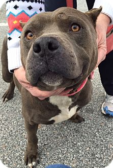 Pit Bull Terrier Dog for adoption in Irmo, South Carolina - Tully
