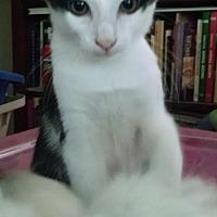Domestic Shorthair Kitten for adoption in Rock Hill, South Carolina - James Bond