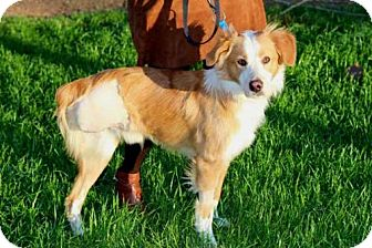 Australian Shepherd Mix Dog for adoption in Andover, Connecticut - LUCA