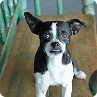 Adopt A Pet :: Penguin - San Antonio, TX