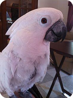 Cockatoo for adoption in Punta Gorda, Florida - Bonnie