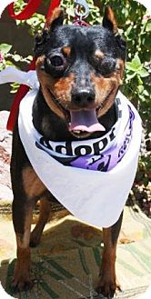 Miniature Pinscher Dog for adoption in Gilbert, Arizona - Nigel