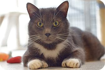 American Shorthair Cat for adoption in Victor, New York - Ernie