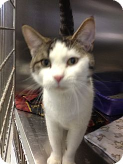 Domestic Shorthair Cat for adoption in Schererville, Indiana - Skittles