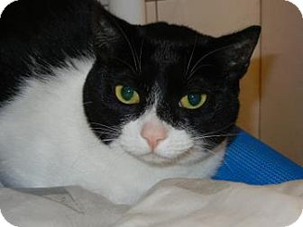 Domestic Shorthair Cat for adoption in Miami, Florida - Zora