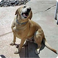Adopt A Pet :: Shea - courtesy post - Scottsdale, AZ
