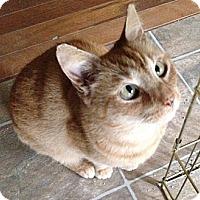 Domestic Shorthair Cat for adoption in Newark, Delaware - Casey