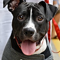 Border Collie/American Pit Bull Terrier Mix Dog for adoption in Mebane, North Carolina - Buddy