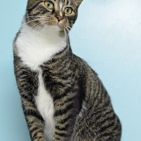 Domestic Shorthair Cat for adoption in Atlanta, Georgia - Zane 131072