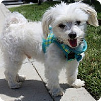 Maltese Dog for adoption in Fountain Valley, California - Doodle