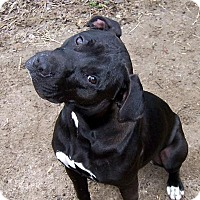 American Staffordshire Terrier Mix Dog for adoption in Ravenel, South Carolina - Naomi