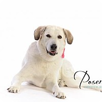 Great Pyrenees/Labrador Retriever Mix Dog for adoption in Shell Lake, Wisconsin - Gracie
