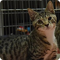 Domestic Shorthair Cat for adoption in Canastota, New York - Kenny