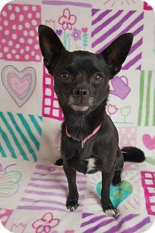 Chihuahua Mix Dog for adoption in Yucaipa, California - Simone
