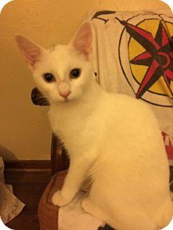 Domestic Shorthair Kitten for adoption in Delmont, Pennsylvania - Winnie
