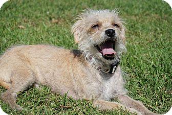 Maltese/Poodle (Miniature) Mix Dog for adoption in Hawthorne, California - Eevee