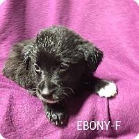 Adopt A Pet :: Ebony - Trenton, NJ