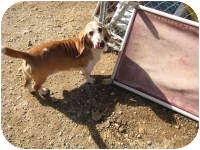 Basset Hound Dog for adoption in Acton, California - Joel