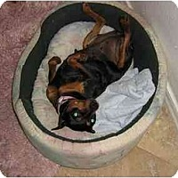 Adopt A Pet :: ThelmaLu - Phoenix, AZ