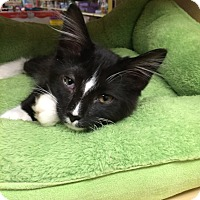 Adopt A Pet :: Sox - Chesterfield Township, MI
