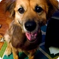 Retriever (Unknown Type) Mix Dog for adoption in Albany, New York - SAKURA