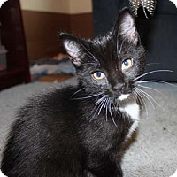 Domestic Shorthair Kitten for adoption in Merrifield, Virginia - Delilah