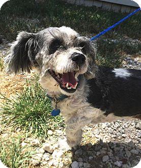Shih Tzu Mix Dog for adoption in Savannah, Georgia - Gizmo 2