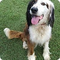 Adopt A Pet :: Bam Bam - Richmond, VA
