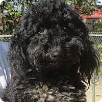 Adopt A Pet :: Nevil - Salem, NH