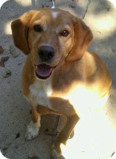 Cocker Spaniel/Labrador Retriever Mix Dog for adoption in Bonner Springs, Kansas - Beau