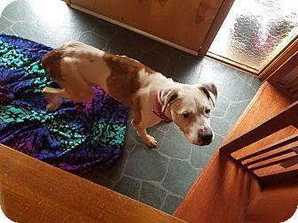 Labrador Retriever/Boxer Mix Dog for adoption in Eastsound, Washington - ROXANNE