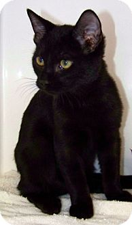 Domestic Shorthair Kitten for adoption in Red Bluff, California - Stripes
