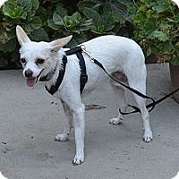 Chihuahua Mix Dog for adoption in Lodi, California - Bambi